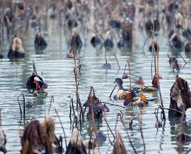主要栖息于山地森林河流,湖泊,水塘,芦苇沼泽和稻田地中.杂食性.